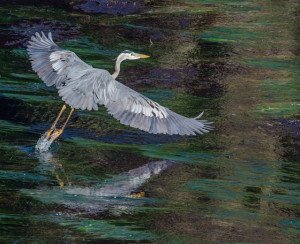And we have liftoff - a Great Blue Heron by Paul Brewer