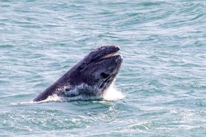 Breaching Gray Whale calf 3 by Paul Brewer