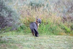 Gray Fox by John Batchelder (Large)