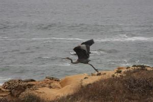 Great Blue Heron in flight by Marianne Rittenhouse (Medium)