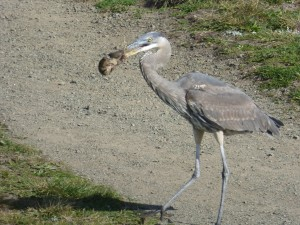 Great Blue Heron nabs a vole by Massomeh Roberts
