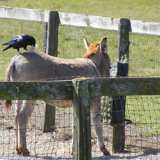 Jack the Donkey allows a Common Raven to harvest his hair by Ferne Fedeli