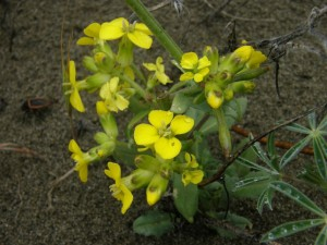 Menzies Wallflower - Erysimum menziesii ssp. menziesii - by Peter Baye