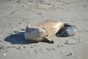 Mother Harbor Seal looks at her pup being born by Barbara Thrush
