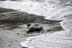 Newborn Harbor Seal Pup nursing by Allen Vinson