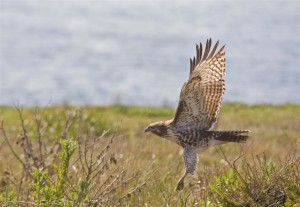 Red-Tailed Hawk, The Sea Ranch