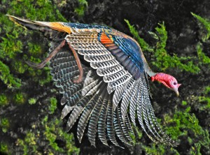 Siegfried's Wild Turkey flying out of a hedgerow by Siegfried Matull