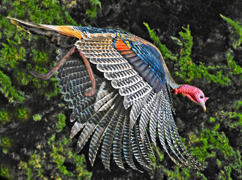 Wild turkey flight - photo#4