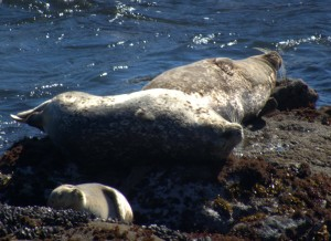 Sunday Afternoon Snooze in the Sun - Harbor Seals by Robert Scarola