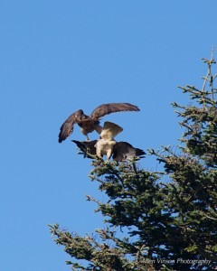 Time for the male Red-tailed Hawk to leave by Allen Vinson