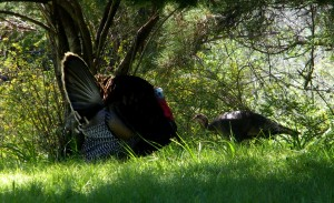 Tom Turkey displaying for a hen by Cathleen Crosby