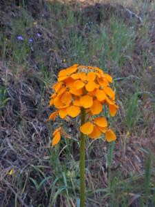 Wallflowers, Erysimum capitatum, by Peter Baye