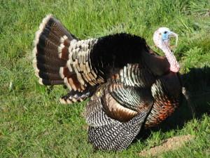 Wild Turkey in full regalia by Jon Loveless