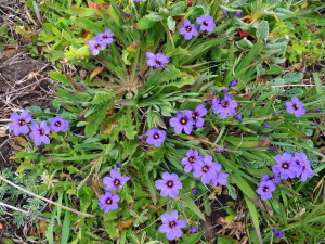 Blue-eyed Grass, Sisyrinchium bellum, by Mary Sue Ittner