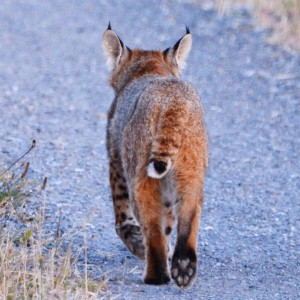 Bobcat heads on out by Peter Cracknell