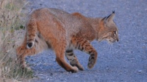 Bobcat hunting by Peter Cracknell