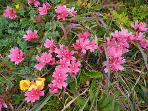 Checker Mallow, Sidalcea malvaeflora, by Mary Sue Ittner