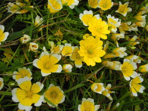 Common Meadowfoam, Limnanthus douglasii, by Mary Sue Ittner