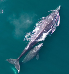 NOAA hexacopter photo of a mother Gray Whale and her calf, courtesy of Wayne Perryman