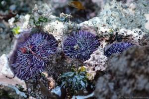 Sea Urchins by Craig Tooley