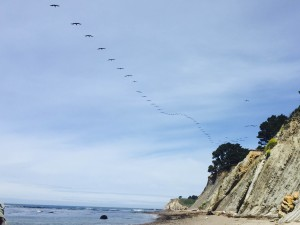 Squadron of Brown Pelicans by Margaret Lindgren