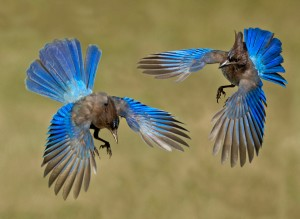 Steller's Jays by Siegfried Matull 3