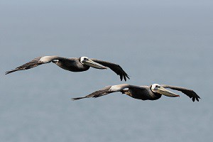 Two adult Brown Pelicans by Ken Bailey