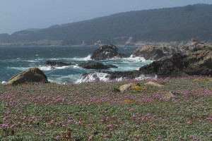 Wildflowers at Salt Point State Park by Carolyn Sharp