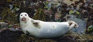 A happy Harbor seal by Allen Vinson