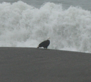 Bald Eagle watches a wave at Jenner by Zak Rudy