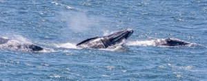 Breaching Gray Whales by Paul Brewer