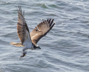 Getting airborn - an Osprey with a fish by Paul Brewer