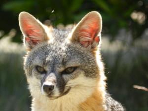 Gray Fox by Jan de Vries