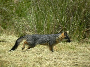 Gray Fox on the move by Jan de Vries