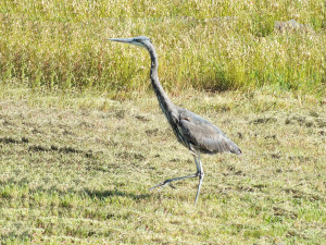 Great Blue Heron on the hunt by Rob Diefenbach