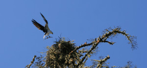 Home Improvement - an Osprey with branch by Drew Fagan