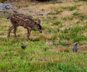 One of the first Fawns and two Quail by Clay Yale