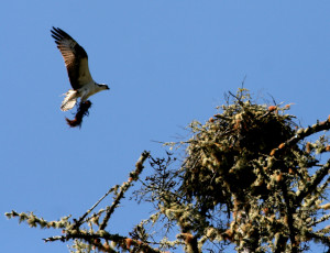 Osprey arrives with kelp to line the nest by Drew Fagan