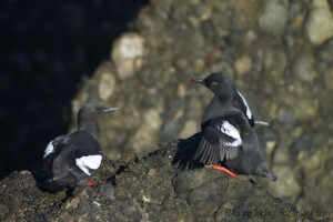 Pigeon Guillemots by Craig Tooley