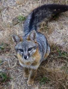 A handsome Gray Fox by Christine Gilbert