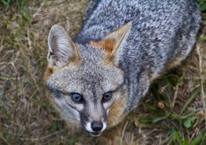Close-up of a Gray Fox by Christine Gilbert