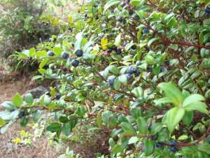 Huckleberries by Jeanne Jackson (Large)