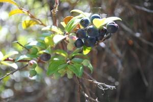 Huckleberries by Jeanne Jackson (Medium)