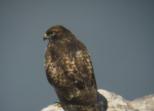 Juvenile Peregrine Falcon rests on a rock by Linda Bostwick