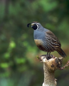 Male Quail by Tom Eckles