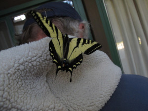 Pale Swallowtail hitches on ride on Ken Bailey's hood by Wendy Bailey