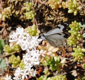 Pine White Butterfly by Jeanne (Medium)