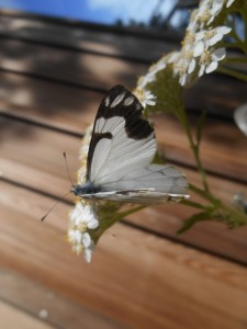 Pine White Butterfly by Karen Tracy