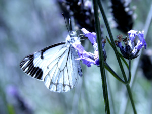 Pine White Butterfly on Lavender Blossoms by Drew Fagan
