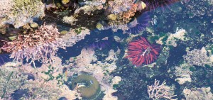Rare Red Sea Urchin with Purple Sea Urchins and an Anemone by Allen Vinson
